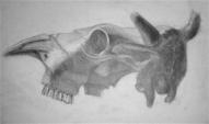 Govs galvaskausa zīmējums