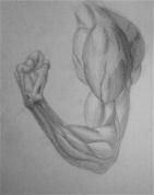 Rokas muskuļa zīmējums (biceps)
